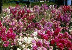Plant photo of: Matthiola incana  Garden Stock!