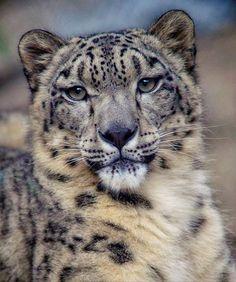 snow leopard Детеныши Животных, Смешные Животные, Милые Животные, Дикие Животные, Красивые Кошки, Большие Кошки, Милые Котики, Котопес, Щенки