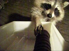 Raccoon Feedings  2017 09 28  0100 HRS Cute Gif, Ferret, Cute Cats, Videos, Animals, Pretty Cats, Animales, Animaux, Ferrets