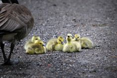 Baby geese. North Canton, Ohio. (Nikon D300 using a 150-600mm zoom lens - 1/320th sec at f8) Photo by Dick Pratt