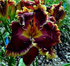 Taglilie, daylily, Hemerocallis  Superstitious