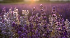 Lavender is the supportive aid in our #anxietyrelief blend   #aromatherapyhealing #naturalremedy #blog  http://www.labaroma.com/blog/2014/01/dont-stress-have-some-anxiety-relief/