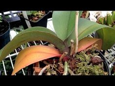 ▶ ORCHID CARE : Yellow Leaves and Other Ailments PART 1 How to remove Old yellow Leaves - YouTube