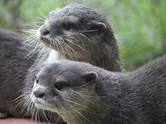 Something has caught these otters' attention - February 3, 2015