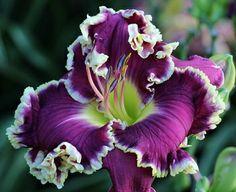 Eula's Choice (Pierce-G., 2013) height 33in (84cm), bloom 7.25in (18.5cm), season EM, Rebloom, Evergreen, Tetraploid, 20 buds, 3 branches,  ...