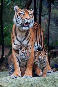 Tiger cubs and mommy tiger having a stroll - Raubtiere - Animals Tiger Pictures, Cute Animal Pictures, Nature Animals, Animals And Pets, Wild Animals, Wildlife Nature, Royal Animals, Beautiful Cats, Animals Beautiful