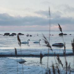 These two. . . . #lauttasaari #swans #myhelsinki #helsinki #visitfinland #visithelsinki #ig_finland #explorefinland #sunset #sunsetporn #yleluonto #uusiluontokuva #ourhelsinki #ourfinland #ig_helsinki #helsinkiofficial #finland_photolovers #igscandinavia #nordicphotos #balticsea #ig_naturepics