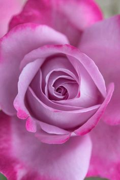 ~~Rose by ryo y~~ flowers Amazing Flowers, Beautiful Roses, My Flower, Beautiful Flowers, Rose Violette, Love Rose, Gras, Purple Roses, Lavender Roses