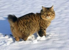 Look at this beauty - one of the rarest breeds in the world - Kurilian Bobtail :) Kuril Islands, Bobtail Cat, Cats And Kittens, Kitty Cats, Beauty First, Manx, Animals And Pets, Russia, Pets