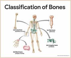 Classification of Bones-Skeletal System Anatomy and Physiology for Nurses https://nurseslabs.com/skeletal-system/
