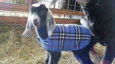 #goatvet loves the bright coat on this Nubian kid