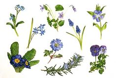 Forget-me-not, Scilla, violet, grape hyacinth, periwinkle, pansy, rosemary, spring anemone, Primula species. Watercolour and gouache on paper