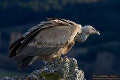 Gyps fulvus,Griffon Vulture, Buitre leonado