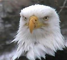 American Eagle most beautiful creature