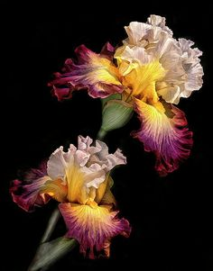 Iris Beautiful gorgeous pretty flowers by marcia Iris Flowers, Flowers Nature, Exotic Flowers, Amazing Flowers, Planting Flowers, Beautiful Flowers, Beautiful Gorgeous, Flowers Garden, Iris Garden
