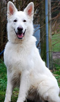 (white german shepherd) ~~ looks like Buck, a white shepherd we used to have. Baby Dogs, Pet Dogs, Dogs And Puppies, Dog Cat, Gsd Dog, Baby Puppies, Beautiful Dogs, Animals Beautiful, White Shepherd