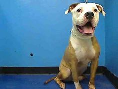 GONE RIP- 09/18/13 Manhattan Center - P  My name is SNOOPY. My Animal ID # is A0978496. I am a male tan and white am pit bull ter mix. The shelter thinks I am about 3 YEARS old ***AMAZING AVERAGE SAFER*** Step up to foster or adopt Snoopy. But do it now—ACC will not give him a second thought and Snoopy, the great dog, will be gone forever!