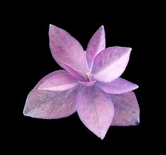 Hydrangea serrata 'Midoriboshi temari' is a compact shrub with delicate double florets. Flower Structure, Hydrangea Macrophylla, Shrubs, Bliss, Delicate, Flowers, Plants, Hydrangeas, Shrub