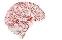 The arteries in the brain