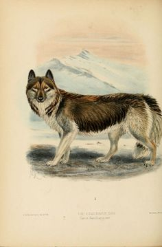Dogs, jackals, wolves, and foxes London R.H. Porter 1890  biodiversitylibrary.org/page/17003200