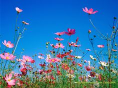 Autumn Flowers : Cosmos Flowers in Field - Pink cosmos flowers under blue sky 2 Pictures Of Spring Flowers, Spring Flowers Wallpaper, Flower Pictures, Flower Wallpaper, Cosmos Flowers, Fall Flowers, Red Flowers, Spring Wildflowers, Candy Flowers