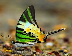 The Fivebar Swordtail butterfly really is a beautiful species, I'll give it that. However, it does have one particularly nasty habit that makes me question its sanity. This type of butterfly is one of a couple of species that partake in mud-puddling.