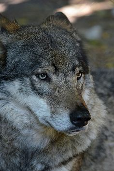 Grey Timber Wolf: Tired, Sad, and Unsure.