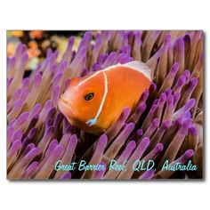 This postcard features an pink skunk clownfish. This little fella was photographed in its anemone home on a dive site called Steve's Bommie on Australia's Great Barrier Reef. #coral #reef #ocean #sea #diver #tropicalfish #greatbarrierreef #coralsea #coralreef #clownfish