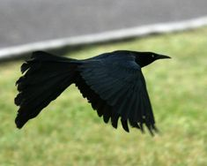 Great Tailed Grackle | Great-tailed Grackle in flight 211