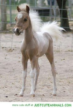 Posh miniature horse... Haha look at that mane and tail too cute!