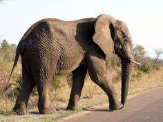 Ein deutscher Jäger hat angeblich Afrikas ältesten Elefanten erschossen (Symbolbild).