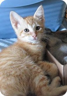 Arlington, TX - Domestic Shorthair. Meet Sunny a Kitten for Adoption.