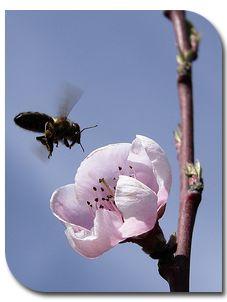 abeille buntine