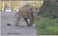 Elephant Blocks Traffic So It Can Master Its Soccer Skills