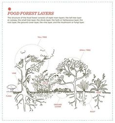 """Christopher Shein's """"The Vegetable Gardener's Guide to Permaculture"""" illustrates the structure of the food forest, which has eight main layers."""