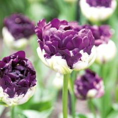 Marvelous Absolut hinrei end die Bl ten der Gef llten Tulpen uBlue Wow u Blumenzwiebeln des Jahres