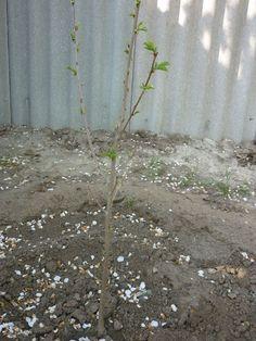 Домашние советы: Саженцы деревьев не принимаются, что делать