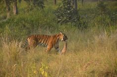 Brilliant evening for guests in the park today, saw Umarpani female make a kill and come out of the grasslands with the trophy. The hungry cubs are ensuring she hunts regularly to keep up with the demands.