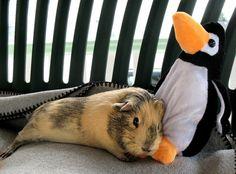 Binka, the guinea pit, cuddling with her penguin. Baby Animals, Cute Animals, Guniea Pig, Baby Guinea Pigs, Cute Piggies, Dog Lady, Mammals, Dog Lovers, Chinchillas