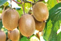 Find Kiwi Farm stock images in HD and millions of other royalty-free stock photos, illustrations and vectors in the Shutterstock collection. Bathroom Plants, Diy Bathroom Decor, Hardy Kiwi, Kiwi Vine, Fast Growing Vines, Food Safety Tips, Modern Bathrooms Interior, Hair Growth Tips, Pool Designs