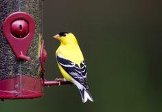 Common Backyard Birds of the Northeastern United States