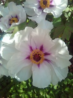 Rock's Tree Peony (Paeonia suffruticosa) The Peony is the only plant in the genus paeonia, the only genus in the family Paeoniaceae. This peony is native to the mountains of Gansu in China.