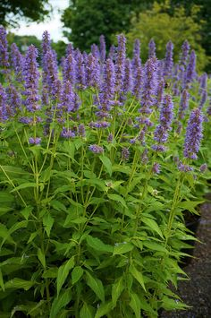Agastache 'Blue Fortune', sterke plant, ruikt naar drop, wordt daarom ook wel dropplant genoemd. Houdt van zon en warmte