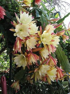 Buy Seeds-Cactus - Epiphyllum Mix - Orchid Cactus Online - Get 43% Off