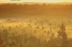 Aamu Torronsuolla - maisema herkkä usva luonto Torronsuo kansallispuisto luonnonkaunis suomaisema varhainen oranssi puut kansallismaisema sumuinen kesä puu keltainen utuinen sää aamu rauhallinen auringon valo satumainen sumu suo