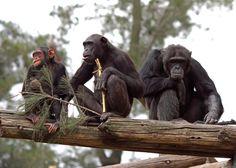 Origins of teamwork found in chimpanzees