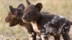 Baby African wild dogs - Work as a volunteer with animals in Africa and make a difference! #Volunteering #kilroy #SouthAfrica #Africa #travel #backpacking