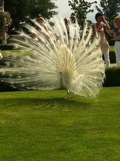 Magnificent peacock - Lago Maggiore, Italy