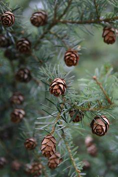 western hemlock (tsuga heterophylla) cones