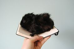 Little black guinea pig...so cute!